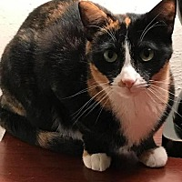 Calico Cat for adoption in DFW Metroplex, Texas - Spooky