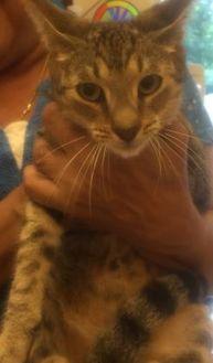 Domestic Shorthair/Domestic Shorthair Mix Cat for adoption in St. Thomas, Virgin Islands - JEN