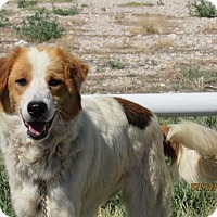 Collie Mix Dog for adoption in Westminster, Colorado - Sphynx