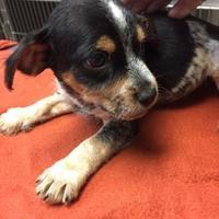 Adopt A Pet :: Colby - Huntsville, TX