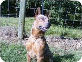 Australian Cattle Dog Dog for adoption in Rural Retreat, Virginia - Riley