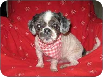 Shih Tzu Dog for adoption in Staunton, Virginia - Muffy