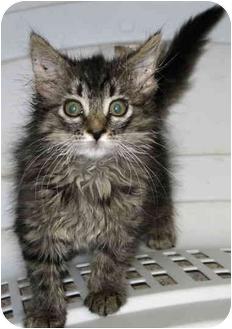 Norwegian Forest Cat Kitten for adoption in Alden, Iowa - Aphrodite