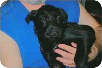 Poodle (Standard)/Airedale Terrier Mix Puppy for adoption in Ardmore, Tennessee - Snuffy