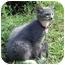Photo 2 - Domestic Mediumhair Kitten for adoption in Montevallo, Alabama - Felix