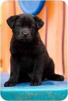 Labrador Retriever Mix Puppy for adoption in Portland, Oregon - Cleveland