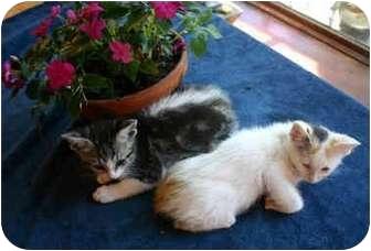 Domestic Shorthair Kitten for adoption in Los Angeles, California - Velcro