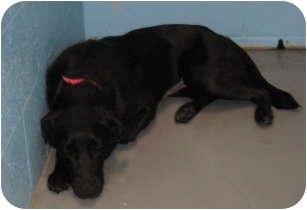 Labrador Retriever Mix Dog for adoption in Stillwater, Oklahoma - Anya