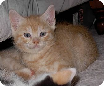 Domestic Shorthair Kitten for adoption in Reston, Virginia - Popeye