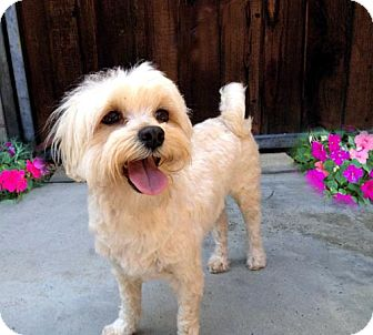 Maltese Mix Dog for adoption in Los Angeles, California - GRACEE