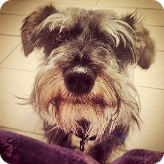 Scottie, Scottish Terrier Dog for adoption in Philadelphia, Pennsylvania - Scottie