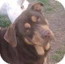 Labrador Retriever/Husky Mix Dog for adoption in Hazlehurst, Georgia - Copper