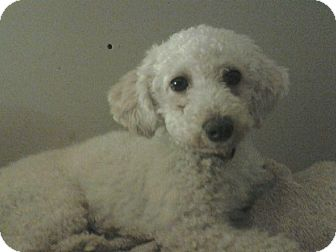 Poodle (Miniature) Dog for adoption in Carey, Ohio - Sugar