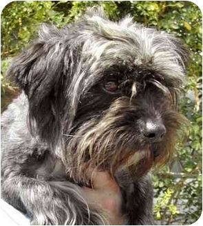 Schnauzer (Miniature)/Poodle (Miniature) Mix Dog for adoption in El Segundo, California - Frankie
