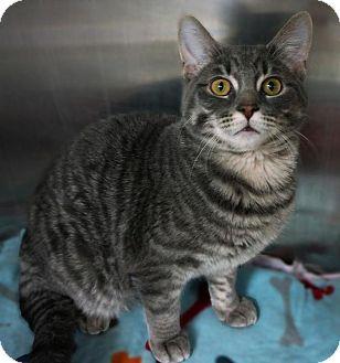 Domestic Shorthair Cat for adoption in Hillside, Illinois - Tuna