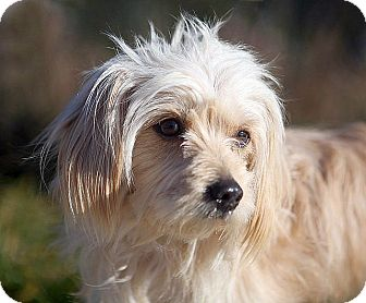 Cairn Terrier Mix Dog for adoption in Berkeley, California - Cleo