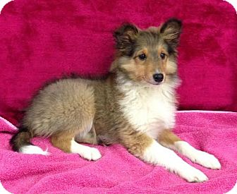 Sheltie, Shetland Sheepdog Puppy for adoption in Allentown, New Jersey - B.B.