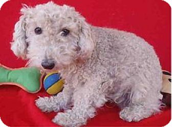 Wirehaired Fox Terrier/Poodle (Miniature) Mix Dog for adoption in Studio City, California - Charlie