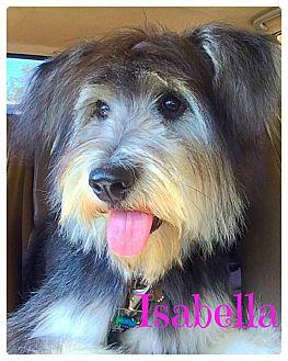Old English Sheepdog Mix Dog for adoption in Scottsdale, Arizona - Isabella