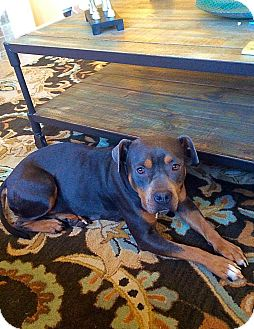 Rottweiler/Bulldog Mix Dog for adoption in Memphis, Tennessee - SOPHIE