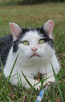Domestic Shorthair Cat for adoption in Monroe, North Carolina - Adoptable Pawley