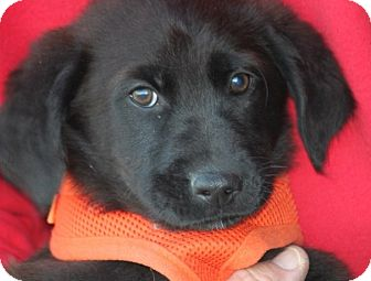 Labrador Retriever Mix Puppy for adoption in Cranston, Rhode Island - Pie