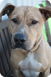 Pit Bull Terrier Mix Dog for adoption in Yukon, Oklahoma - Mikey