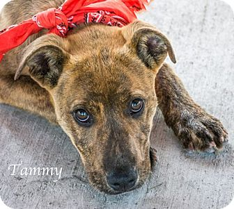Labrador Retriever Mix Puppy for adoption in Lancaster, Texas - Tammy