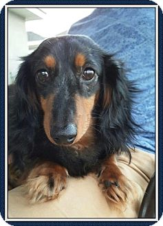 Dachshund Dog for adoption in Green Cove Springs, Florida - Champ