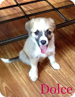 Australian Shepherd/Collie Mix Puppy for adoption in Hainesville, Illinois - Dolce
