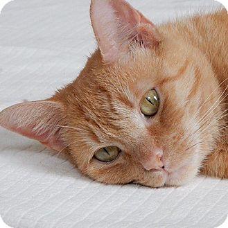 Domestic Shorthair Kitten for adoption in Long Beach, New York - Emily