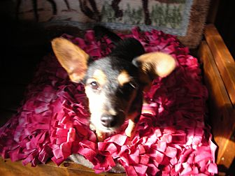 Chihuahua/Terrier (Unknown Type, Small) Mix Puppy for adoption in Crawfordville, Florida - Monkey