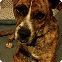 Adopt A Pet :: Sweetness - Pending Adoption - Gig Harbor, WA