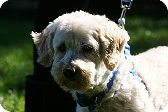 Lhasa Apso/Poodle (Miniature) Mix Dog for adoption in Carlsbad, California - Maxx