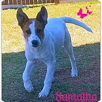 Adopt A Pet :: Samantha - West Hartford, CT
