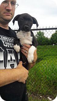 Labrador Retriever/Boxer Mix Puppy for adoption in Staunton, Virginia - Kodack