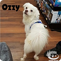 Adopt A Pet :: Ozzy - Sassy Little Fellow! - Huntsville, ON