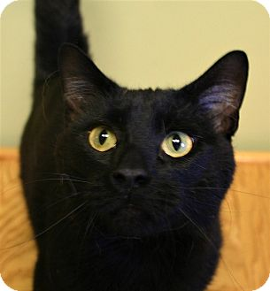 Domestic Shorthair Cat for adoption in Hastings, Nebraska - Batman