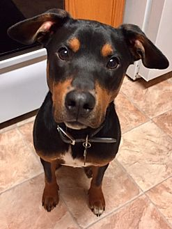 Doberman Pinscher/Beagle Mix Dog for adoption in Lovettsville, Virginia - Frank