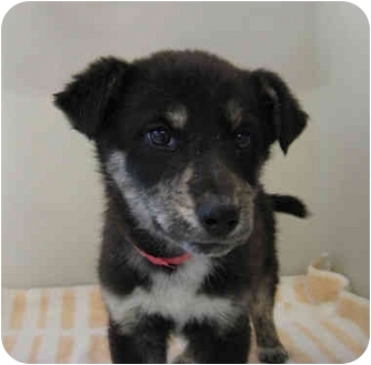 Blue Heeler/Shepherd (Unknown Type) Mix Puppy for adoption in Gallup, New Mexico - Little Sweetie!
