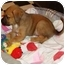 Photo 1 - Boxer/Shepherd (Unknown Type) Mix Puppy for adoption in Windham, New Hampshire - Coleslaw