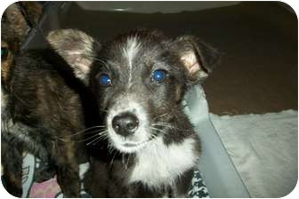 Australian Cattle Dog Mix Puppy for adoption in McIntosh, New Mexico - DiDi