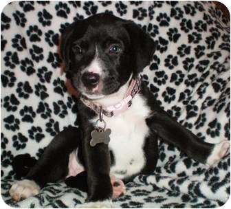 Labrador Retriever/Terrier (Unknown Type, Small) Mix Puppy for adoption in Thomasville, North Carolina - Dawn