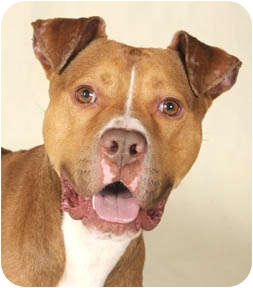 American Pit Bull Terrier Dog for adoption in Chicago, Illinois - Max