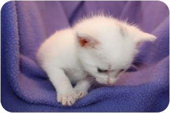 Domestic Shorthair Kitten for adoption in Union, Kentucky - Graisse