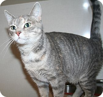 Domestic Shorthair Cat for adoption in Edmonton, Alberta - Velvet