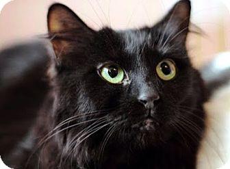 Domestic Shorthair Kitten for adoption in Alexandria, Virginia - Josie