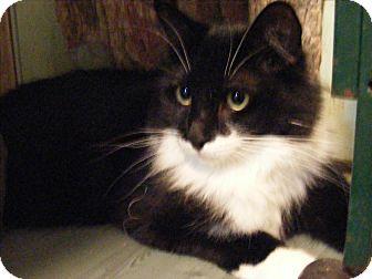 Domestic Mediumhair Cat for adoption in Newburgh, New York - Julie