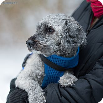 Poodle (Miniature) Mix Dog for adoption in Essex Junction, Vermont - Bamboo