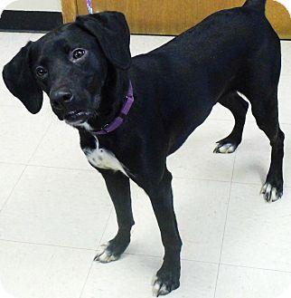 Weimaraner Mix Dog for adoption in Washington Court House, Ohio - Katie
